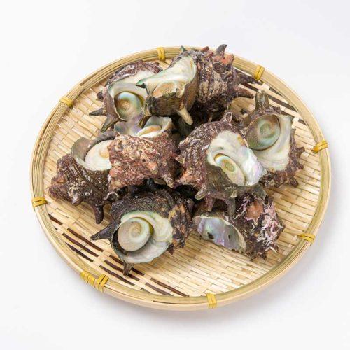 若狭湾産サザエ1kg(8~15個)